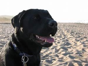 Animals  Black Labrador Dog