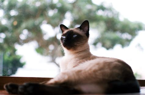 cats that don t shed cat breeds that don t shed pawculture
