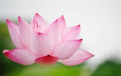 Lotus Flower Background Wallpapers Desktop Backgrounds Nature