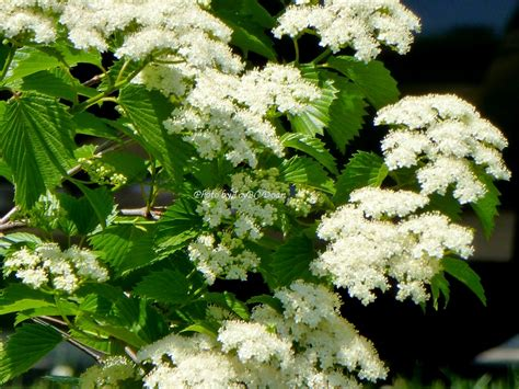 pictures of trees with white flowers beyond zephyr white flowering tree