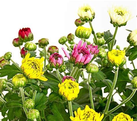 Garten Chrysantheme Kaufen by Garten Chrysantheme Quattro Dehner