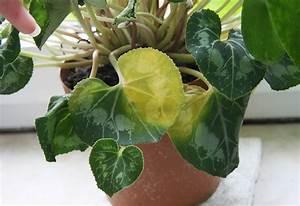 Alpenveilchen Gelbe Blätter : alpenveilchen bekommt gelbe bl tter majas pflanzenblog ~ Lizthompson.info Haus und Dekorationen