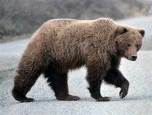 Grizzly Bear On The Park Road