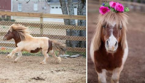 horse unusual pinto miniature pets brown ponies exotic crown flower own mane blond pink diamonds forget friend thumbelina smallest legally