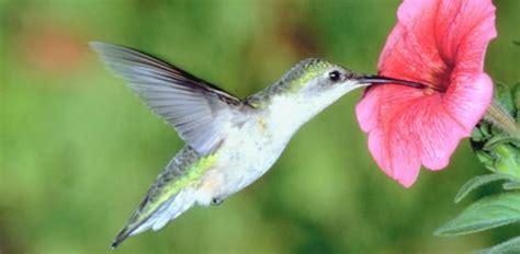 hummingbirds   garden todays homeowner