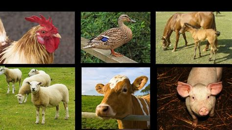 farm animal sounds  interactive game  kids kids