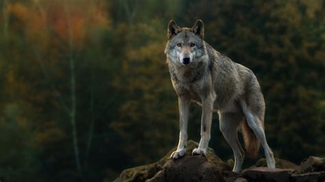 Grey Animal Wallpaper - gray wolf hd wallpaper and background 1920x1080