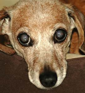 Beginning Of Cataracts In Dogs | www.imgkid.com - The ...