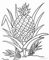 Coloring Pineapple Plant Drawing Printable Cartoon Clipart Fruits Fruit Colouring Cool2bkids Line Getdrawings Pineapples Ananas Sheets Pokemon Clipground Adult Awesome sketch template
