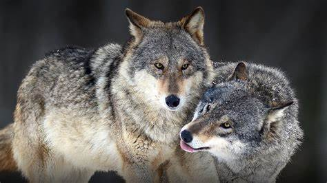 Wild Loving A Wolf For Some Brutal