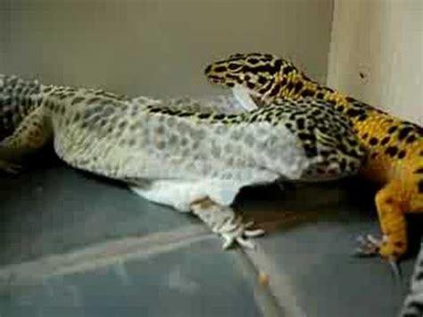 leopard gecko shedding skin my leopard gecko shedding
