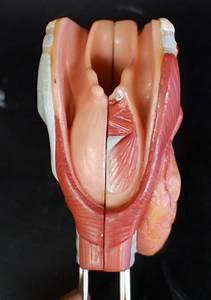 Human Anatomy Lab  The Respiratory System