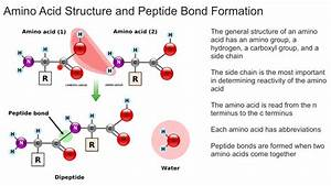 Amino Acid Structure And Peptide Bond Formation