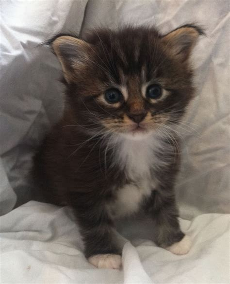 Kittens For Sale by Pedigree Maine Coon Kittens For Sale Ulverston