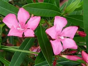 Laurier Rose Entretien : nerium oleander italia laurier rose italia p pini re ~ Melissatoandfro.com Idées de Décoration