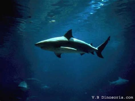 requin aquarium eau douce attaque d un requin en eau douce dinosoria