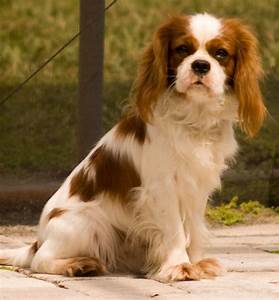 Cavalier King Charles Spaniel Cocker Spaniel Mix - wallpaper.