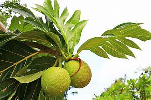 Arbre A Fruit : uru autopsie d un fruit pas comme les autres le tahiti traveler ~ Melissatoandfro.com Idées de Décoration