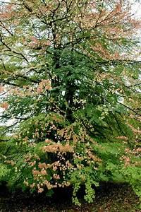 Arbre Ombre Croissance Rapide : les 25 meilleures id es concernant arbres croissance ~ Premium-room.com Idées de Décoration
