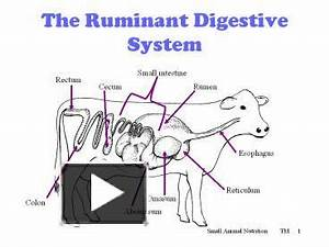 Ppt The Ruminant Digestive System Powerpoint