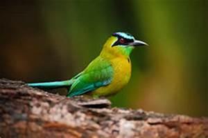 Oiseau Jaune Et Bleu : geai jaune de vert d 39 oiseau yncas de cyanocorax nature sauvage belize photo stock image ~ Melissatoandfro.com Idées de Décoration