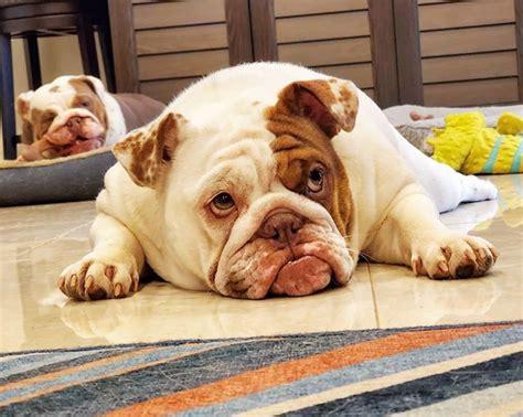 click visit  follow  amazon store  bulldog