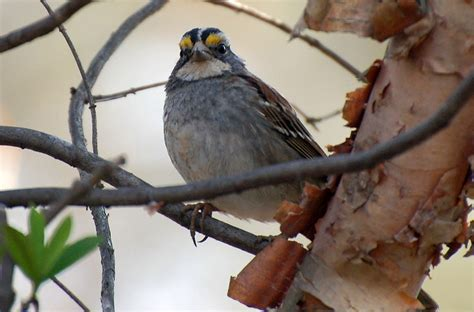 zonotrichia albicollis white throated sparrow