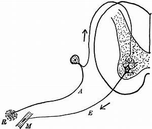 Sensory Neuron Diagram Labeled