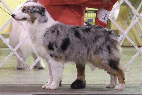 australian shepherd breed information australian shepherd