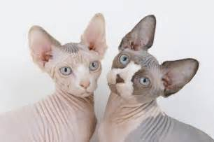 inside the surreal world of sphynx cats and their