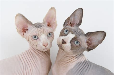 Exceptional Feline Breed Sphynx Cat Wishforpets