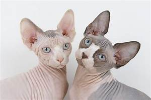 Exceptional Feline Breed: Sphynx Cat | WishForPets
