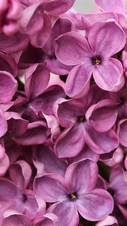Lilac Purple 4k Flowers Macro 5k Wallpapers