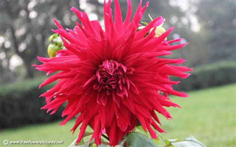 flowers dahlia pictures dahlia pictures dahlia flower pictures