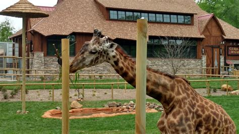 Photos African Adventure Exhibit  With Giraffes Opens