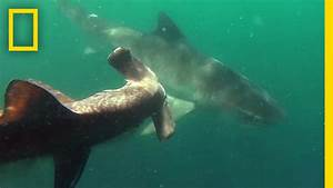 Tiger Shark vs. Hammerhead Shark | National Geographic ...