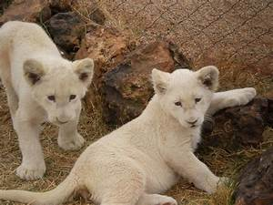 Baby White Lion Pictures ~ HD Wallpapers