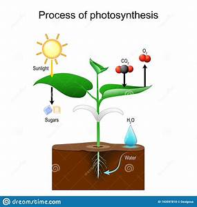 Photosynthesis Process In Plants Stock Vector