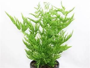 Fougère Pteris Cretica : pteris straminea varens ferns foug re shida rui ~ Melissatoandfro.com Idées de Décoration