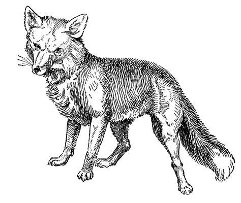 vintage animal clip art fox drawings fox drawing