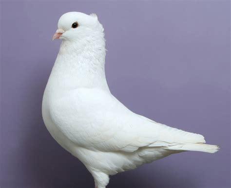 miniature american crest pigeon  origin description