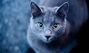 blue gray cat grey blue cat with green yellow desktop wallpaper