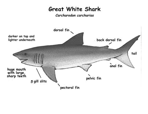 free shark diagrams printable diagram