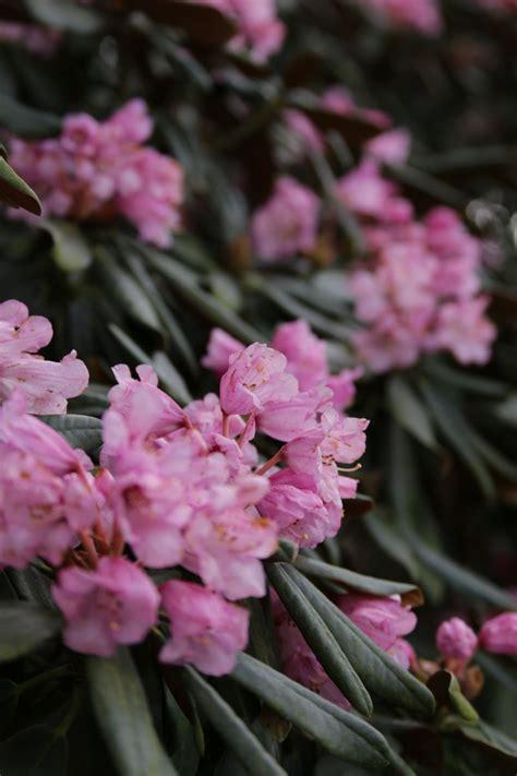 Pflanzen Hamburg by Rhododendron Metternichii Ein Kurzurlaub Im Botanischen