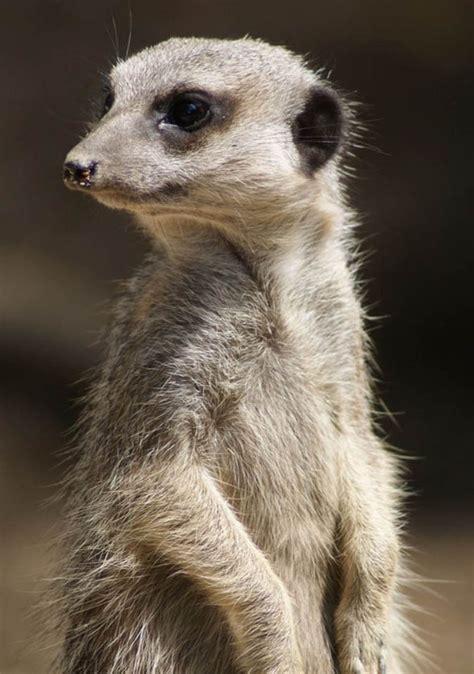 meerkats meerkat stress zoos chronic animals express suffering risk living