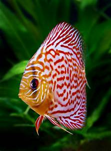 Freshwater Fish Livestock - Discus & African Cichlids ...