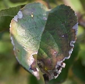 Mein Apfelbaum Anleitung : rosen und gartenforum rosen in radm hl gartenforum ~ Lizthompson.info Haus und Dekorationen