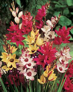 mixed ixia 25 bulbs