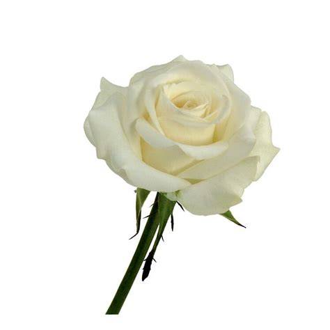 Rose Akito Blanche Livraison Roses Blanches France Fleurs