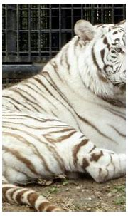 Rare white tiger kills zookeeper in Japan - Independent.ie